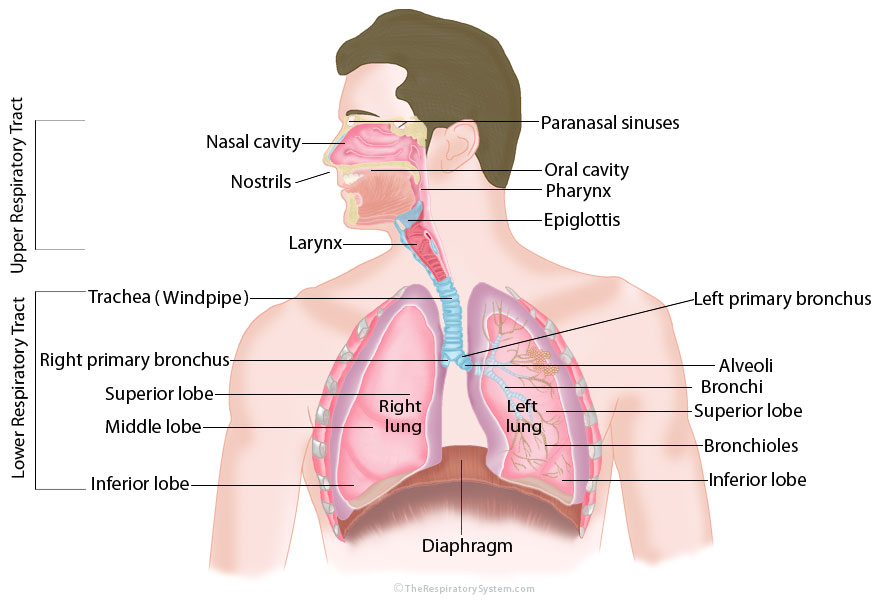 Diagram Of The Lungs In The Body 719yaunited