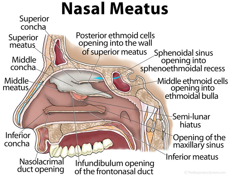 What Sinuses Drain Into The Middle Meatus - Best Drain ... Inferior Meatus Drains Into