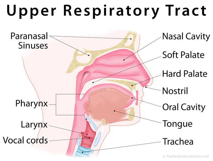 Upper Respiratory Tract Anatomy Functions Diagram