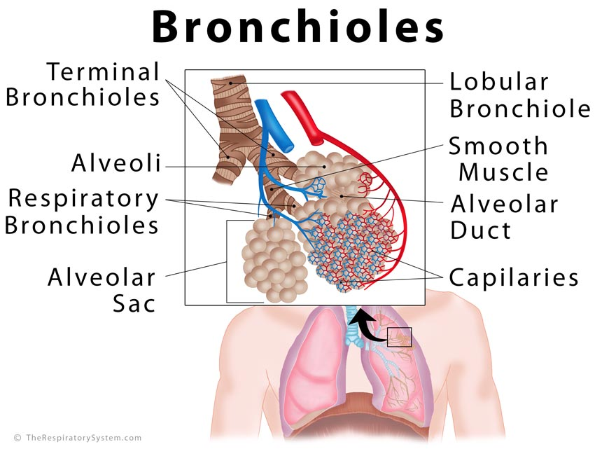 bronchioles definition, location, anatomy, function, diagram | the, Human Body