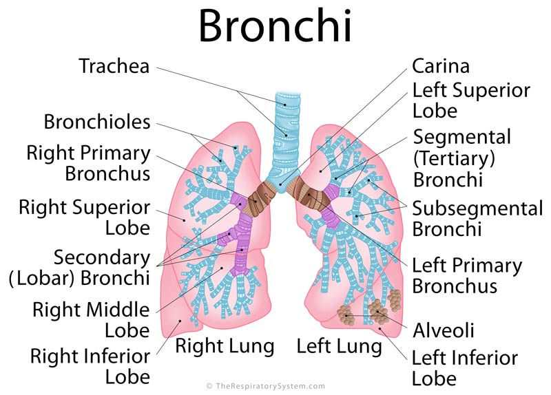 bronchi definition, location, anatomy, functions, pictures | the, Human Body