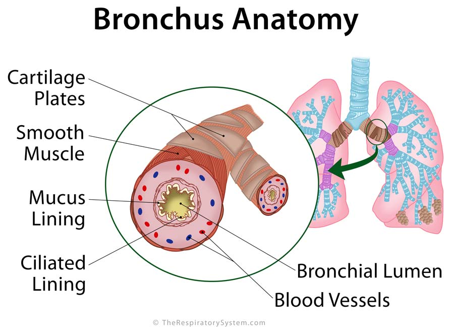 Bronchi Definition, Location, Anatomy, Functions, Pictures | The ...
