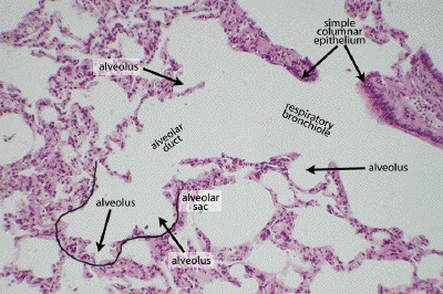 Alveoli definition location anatomy function diagrams the alveoli histology ccuart Gallery