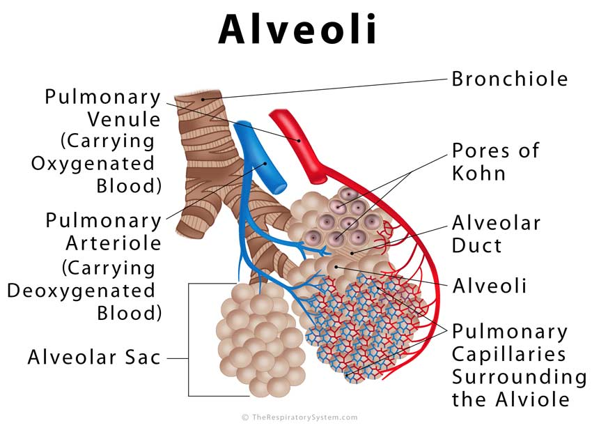 Alveoli Definition, Location, Anatomy, Function, Diagrams