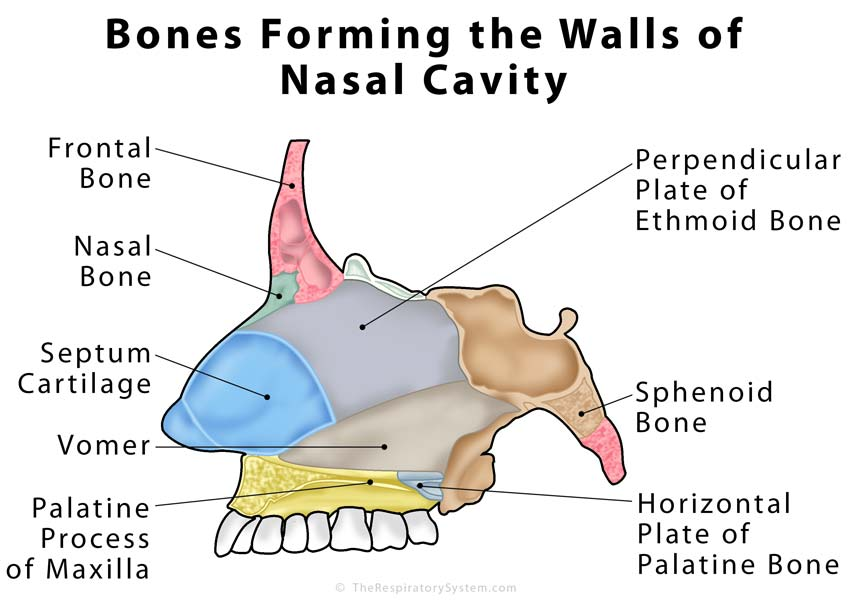 nasal cavity bones forming the walls