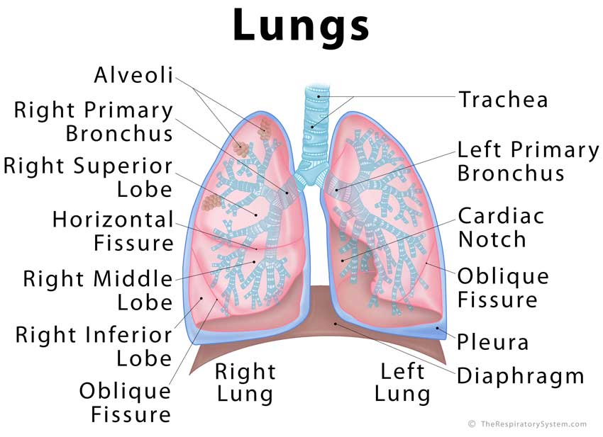 Lungs Diagram Fissures And Lobes - Block And Schematic Diagrams •