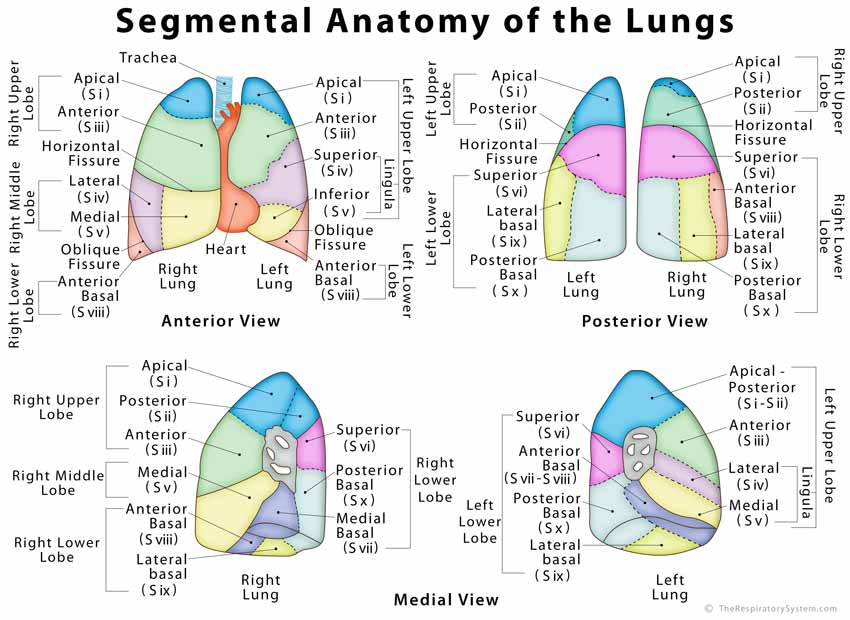 Lung anatomy diagram