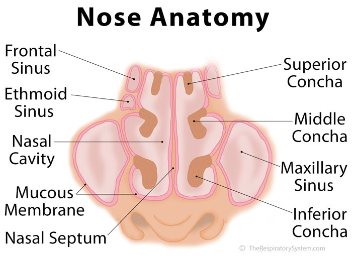 Nose definition anatomy functions diagram the respiratory system nose anatomy diagram ccuart Image collections