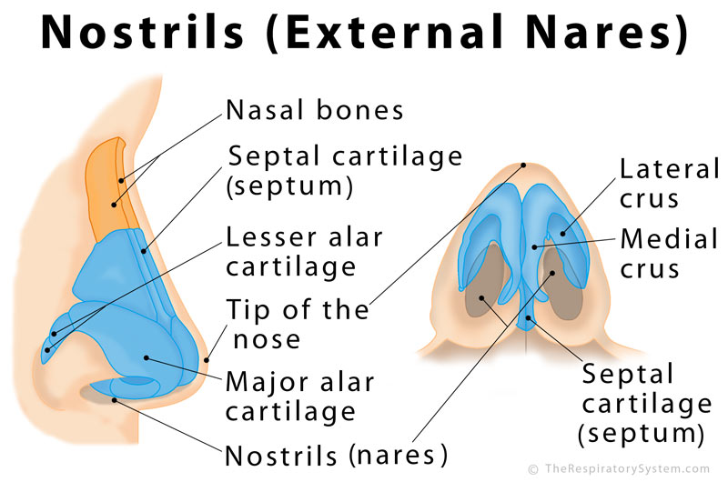 Nostrils: Definition, Functions, Anatomy, Pictures