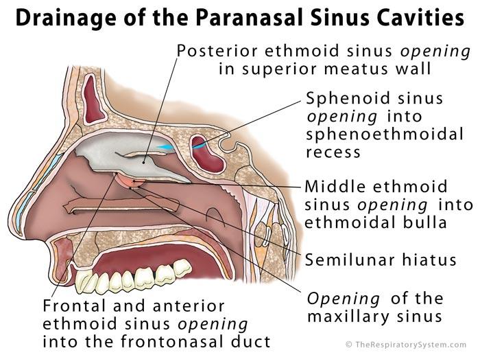 Paranasal Sinus Definition Location Anatomy Function Picture