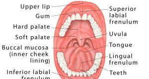 Oral Cavity Definition Anatomy Functions Diagram