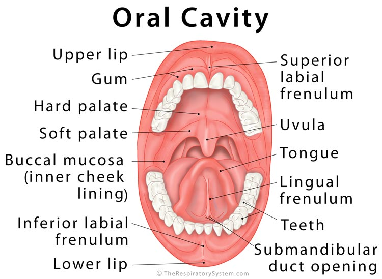 Oral Cavity Definition, Anatomy, Functions, Diagram
