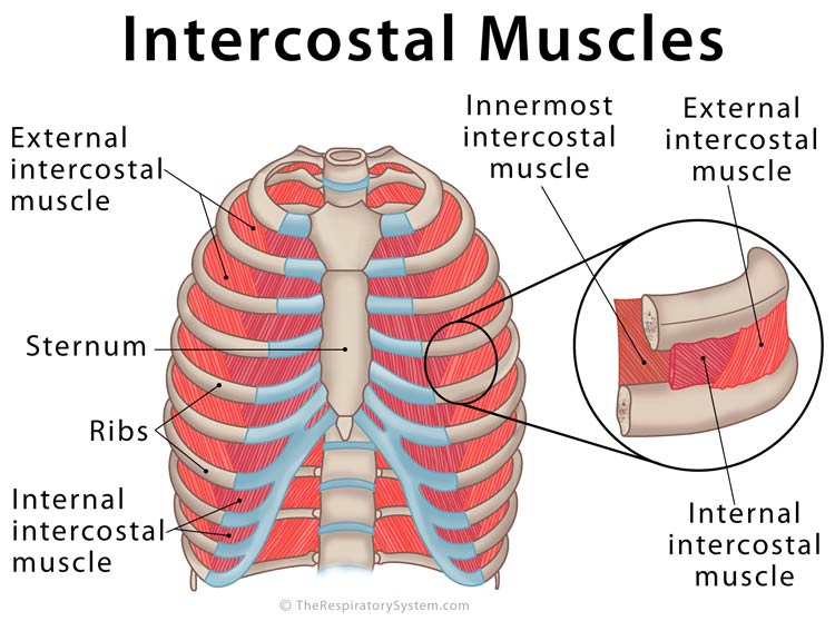Intercostal Muscles Definition Location Anatomy Functions